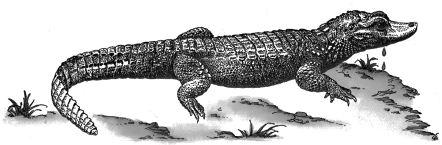 Ảnh đen trắng: Cá sấu chảy nước mắt