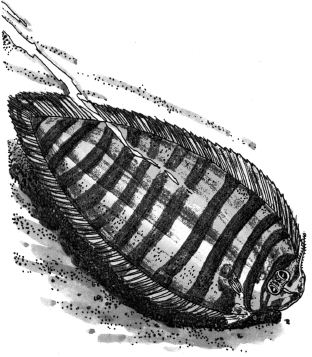 Ảnh đen trắng: Cá thờn bơn