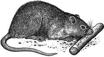Chuột thích gặm nhấm
