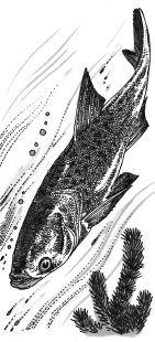 Ảnh đen trắng: Con cá đuôi hình quạt để thích nghi với điều kiện sống trong nước