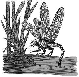 Ảnh đen trắng: Con chuồn chuồn
