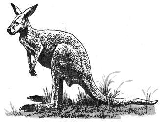 Ảnh đen trắng: Kangaroo có cái đuôi rất lớn và khỏe
