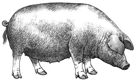 Con lợn nhà