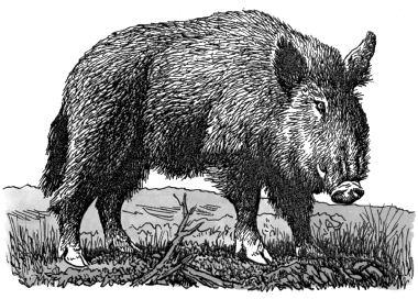Con lợn rừng