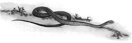 Ảnh đen trắng: Con rắn đang di chuyển