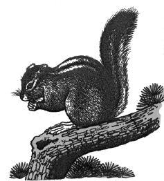 Ảnh đen trắng: Con sóc đang ăn quả trên cành cây