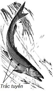 Đường trắc tuyến trên thân cá