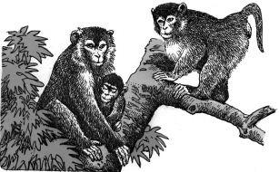 Gia đình nhà khỉ macaca