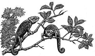Ảnh đen trắng:  Hai con tắc kè hoa trên cây