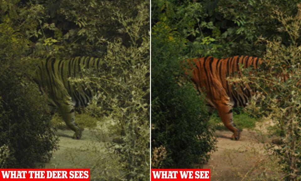 Hình ảnh con hổ dưới con mắt của con nai và con người