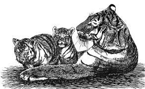 Ảnh đen trắng: Hổ mẹ và hai hổ con