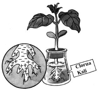Đem rễ cây đậu non nuôi trồng trong dung dịch có chứa kali clorua