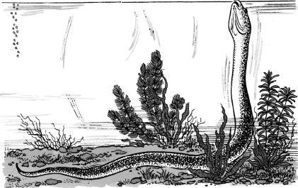 Lươn cái biến thành lươn đực
