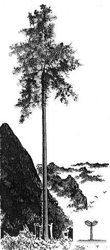 Ảnh đen trắng: Cây cao bên ngọn núi